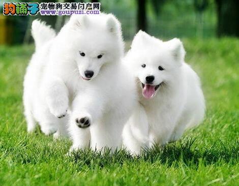 杭州正规狗场热卖极品萨摩耶公母都有保健康1