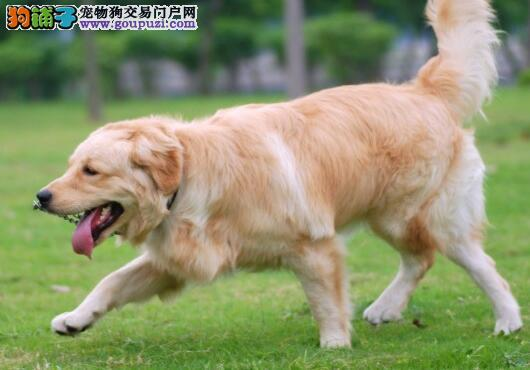 广州送货上门 专业繁殖 金毛幼犬
