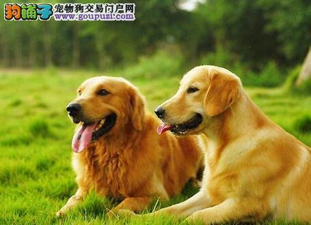 郑州自家繁殖的大头版金毛犬找新家 喜欢的朋友别错过