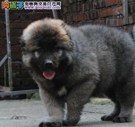 AC联保犬业出售原生态顶级护卫高加索幼犬 公母都有