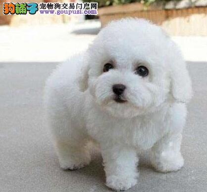 广州繁殖比熊犬自家繁殖品相好的比熊幼犬出售纯种比熊