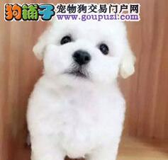 自已家养的比熊幼犬出售 上门挑选 公母都有 健康纯种