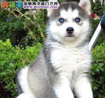 上海正规狗场直销出售优秀哈士奇 淘气可爱纯种三把火3