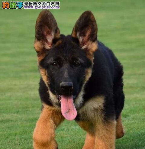 杭州知名犬舍纯种顶级德国牧羊犬 毛量大大头版品相好1