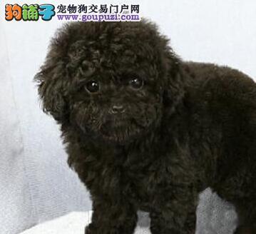 茶杯玩具血系的兰州泰迪犬找新主人 求爱狗人士收留3