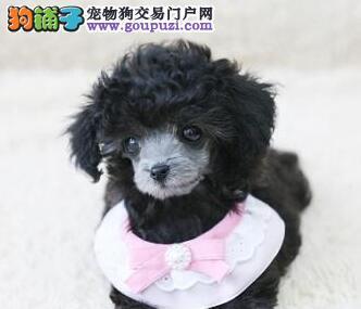 杭州赛级高品质纯种健康贵宾犬