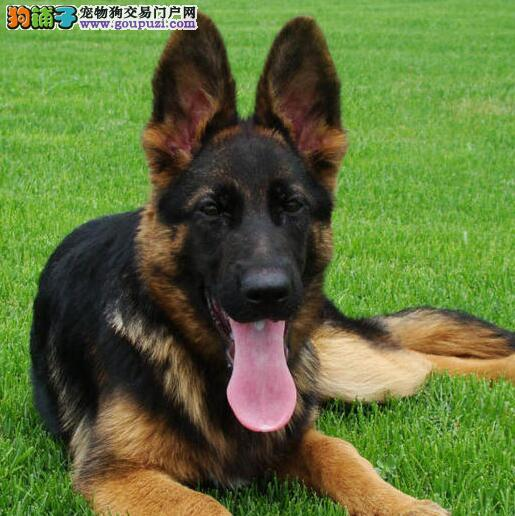 宁波大型狗场促销价格出售大头锤系德国牧羊犬 血统纯