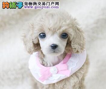 出售纯种玩具茶杯泰迪宝宝 家养泰迪狗狗交易