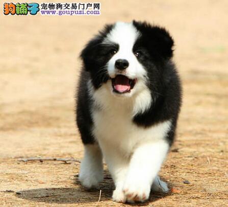吉林售纯种边境牧羊犬幼犬品质保证公母全有可上门挑