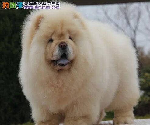 大嘴紫舌长春松狮犬特价出售 所有犬只均保证健康