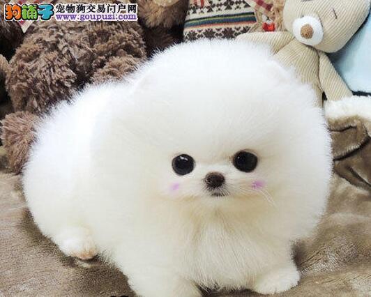 北京专业繁殖纯小体博美犬 俊介 可视频选可送货上门图片
