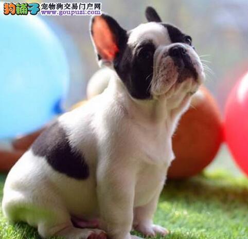 热销多只优秀的纯种上海法国斗牛犬微信看狗真实照片包纯