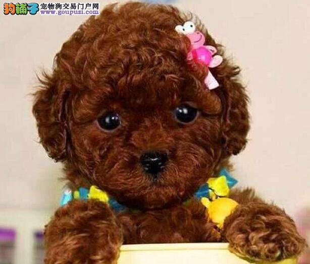 重庆出售极品泰迪犬幼犬完美品相可签合同刷卡