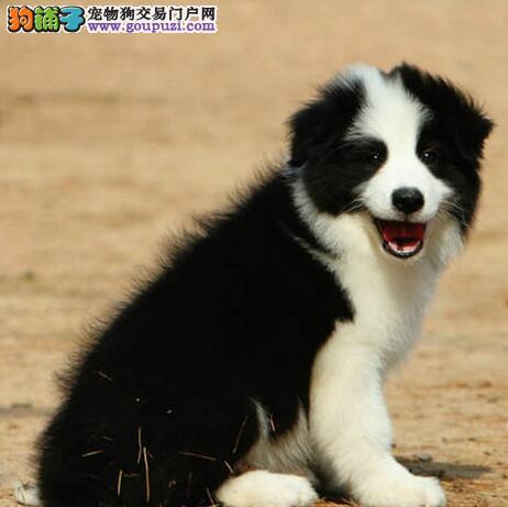 正规犬舍高品质边境牧羊犬带证书微信咨询欢迎选购