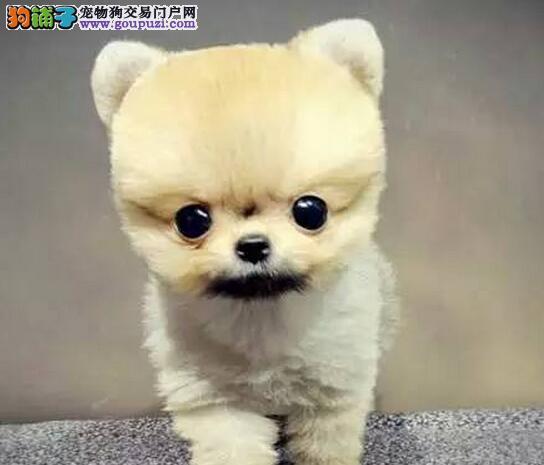 大毛量大眼睛可爱活泼的南昌博美犬待售中 狗贩子勿扰