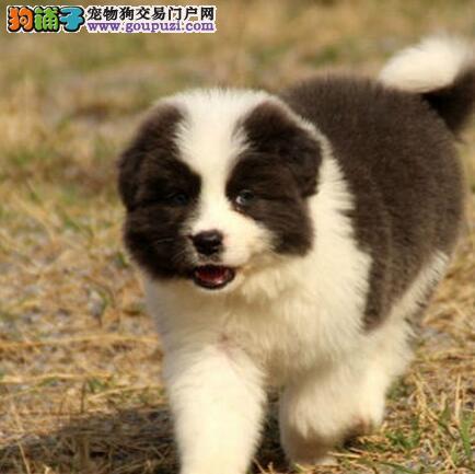 乖巧听话易训练的南昌边境牧羊犬找新家 疫苗驱虫齐全