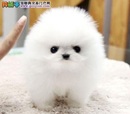 重庆自家养殖纯种博美犬低价出售喜欢加微信可签署协议