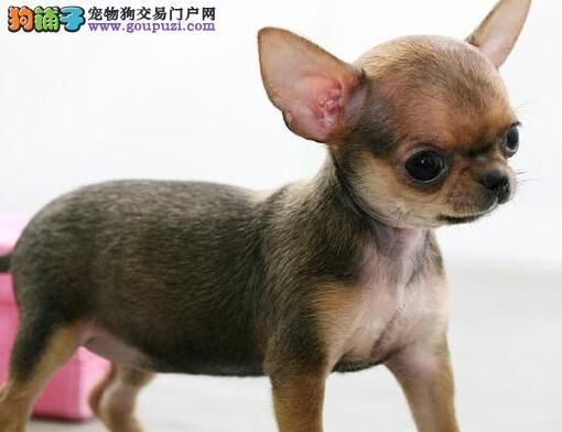 赛级吉娃娃幼犬 真实照片保纯保质 全国送货上门2