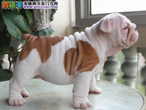 贵阳专业犬舍特价出售高品质斗牛犬 公母都有可视频