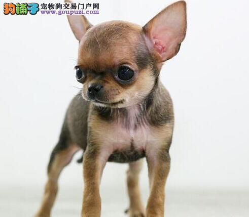 赛级吉娃娃幼犬 真实照片保纯保质 全国送货上门1