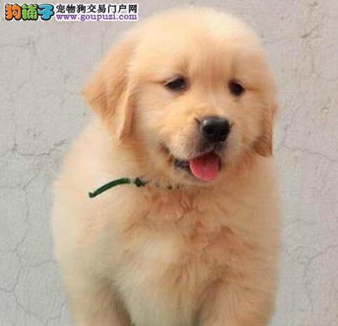 广州大骨量赛级金毛犬 签协议 保健康 可看父母