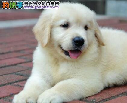 成都售导盲犬 黄金猎犬金毛寻回犬幼犬公母全有可挑选