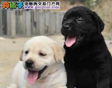 济南繁殖犬舍出售拉布拉多犬 可以视频看犬预定选购