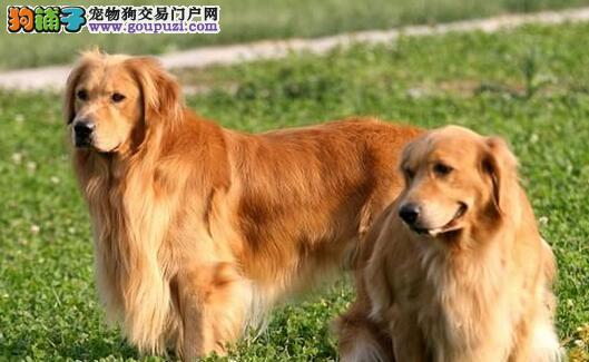 武汉大头宽嘴英系美系金毛幼犬转让终身质保金毛巡回犬