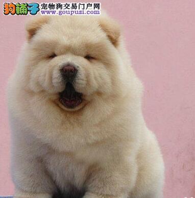 憨厚可爱松狮宝宝 专业繁殖高品质松狮犬