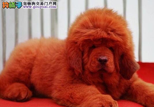出售纯种铁包金南京藏獒 可接受预定有防疫证明和芯片