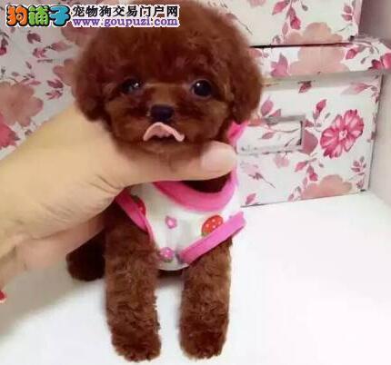 极品优秀纯种泰迪犬郑州自家狗场出售 可签订协议1