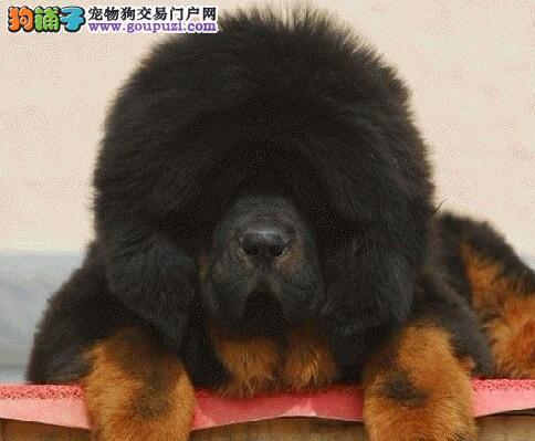 合肥本地犬舍直销出售纯种藏獒 血统纯正赛级品质