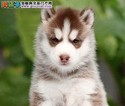 北京售纯种健康四蹄踏雪白尾巴尖三火蓝眼哈士奇幼犬