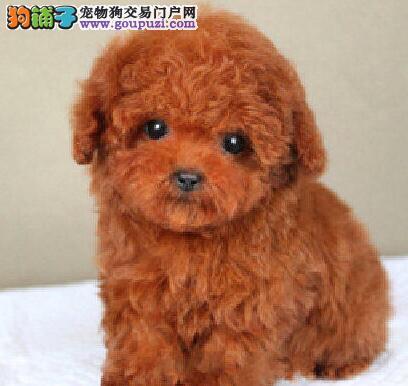 正规狗场热销出售高品质韩系泰迪犬 兰州同城可送到家