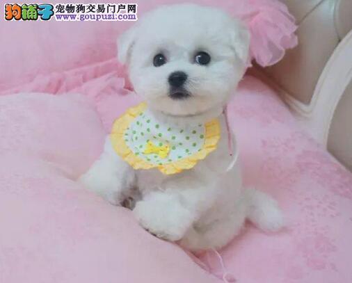 杭州CKU犬舍出售赛级法国卷毛比熊犬 支持送货上门