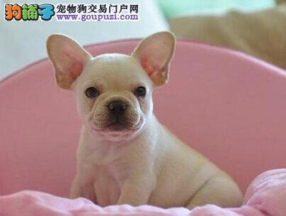 法国斗牛犬幼犬出售中、金牌店铺假一赔十、购买保障售后2