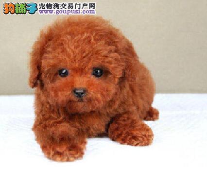 极品优秀纯种泰迪犬郑州自家狗场出售 可签订协议4