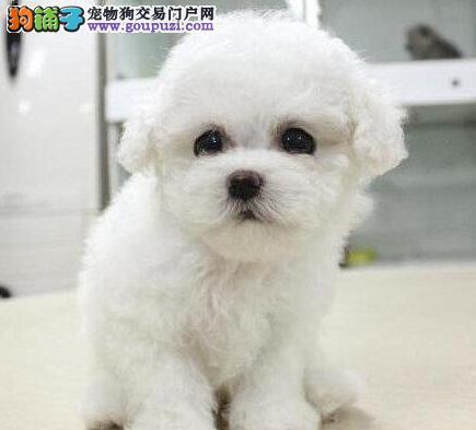 上海纯种比熊犬转让 正规狗场直销 质保一年健康保障