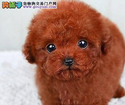 直销可爱纯种韩系泰迪犬 欢迎来贵阳实地考察可预订