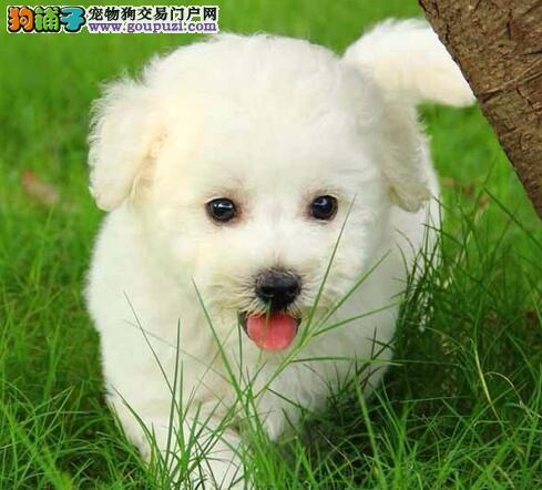 北京养殖场直销泰迪犬价钱可小刀泰迪不纯有病包退换