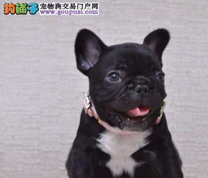 广州高端法国斗牛犬繁育基地出售 法斗法牛犬幼犬1