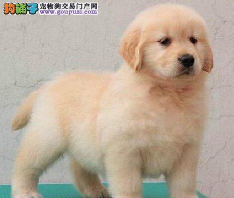 选择金毛犬的时候是要选择公的还是母的?5