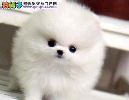 北京售球体哈多利系博美犬俊介幼犬公母全有欢迎选购
