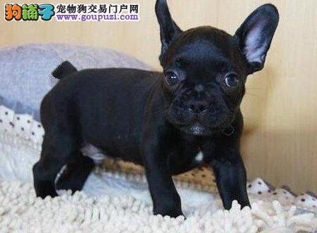 广州高端法国斗牛犬繁育基地出售 法斗法牛犬幼犬2