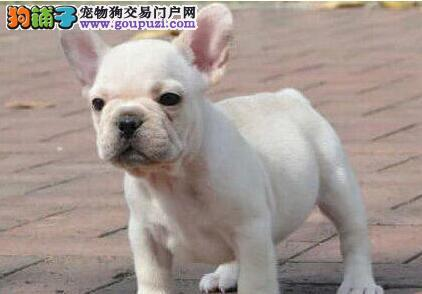 热销多只优秀的昆明纯种法国斗牛犬幼犬签订保障协议