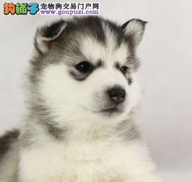 成都双血统哈士奇雪橇犬出售 保纯种健康二哈终身质保