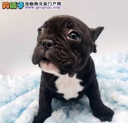 出售南京顶级斗牛犬包 健康体型保质量
