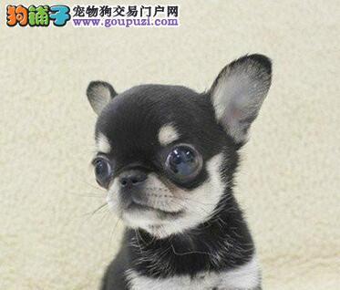 南京正规犬舍出售纯种吉娃娃幼犬签协议包建康