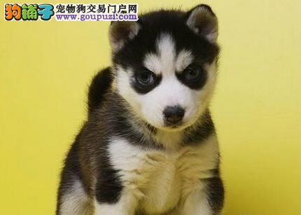 赛系三火蓝眼南京哈士奇幼犬 品相纯正白套袖