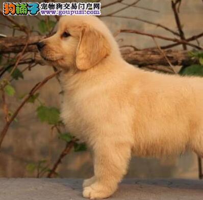 纯种赛级血统的大头宽嘴的金毛幼犬找新家